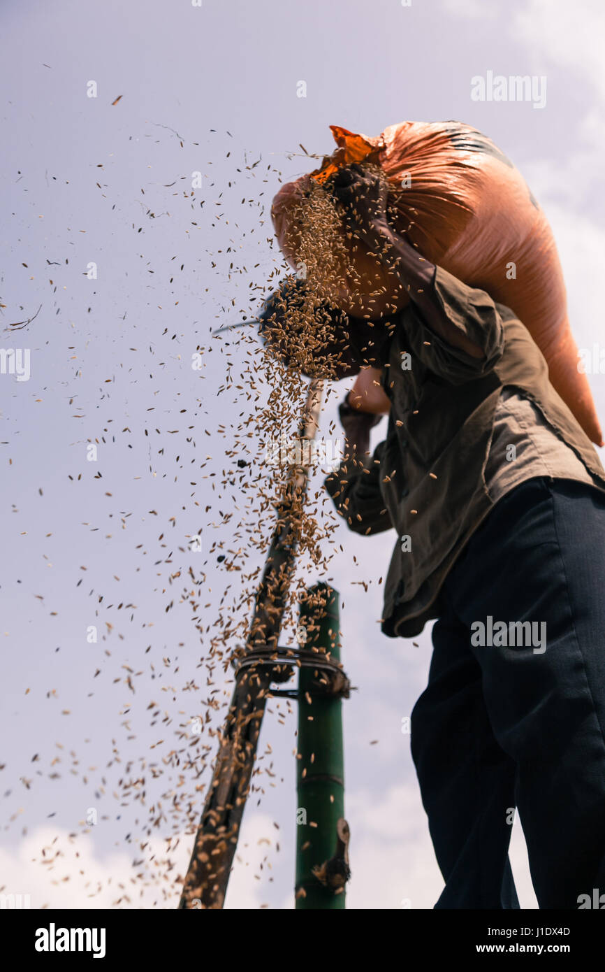 A farmer uses traditional techniques, pouring the rice from height using the wind to extract the empty grains. Sa - Stock Image