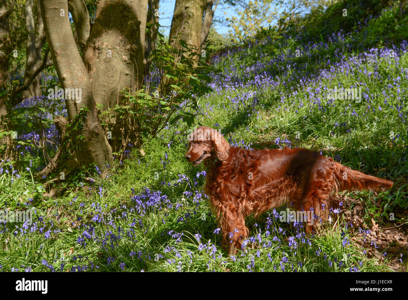Newlyn, Cornwall, UK. 21st April 2017. UK Weather. A  sunny lunchtime walk in the bluebell woods for these Irish - Stock Image