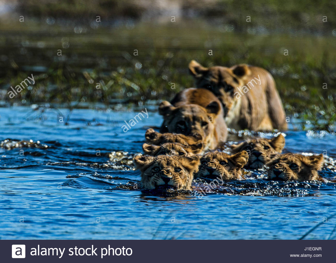 A pride of lions, Panthera leo, crossing a river in Botswana's Okavango Delta. - Stock Image