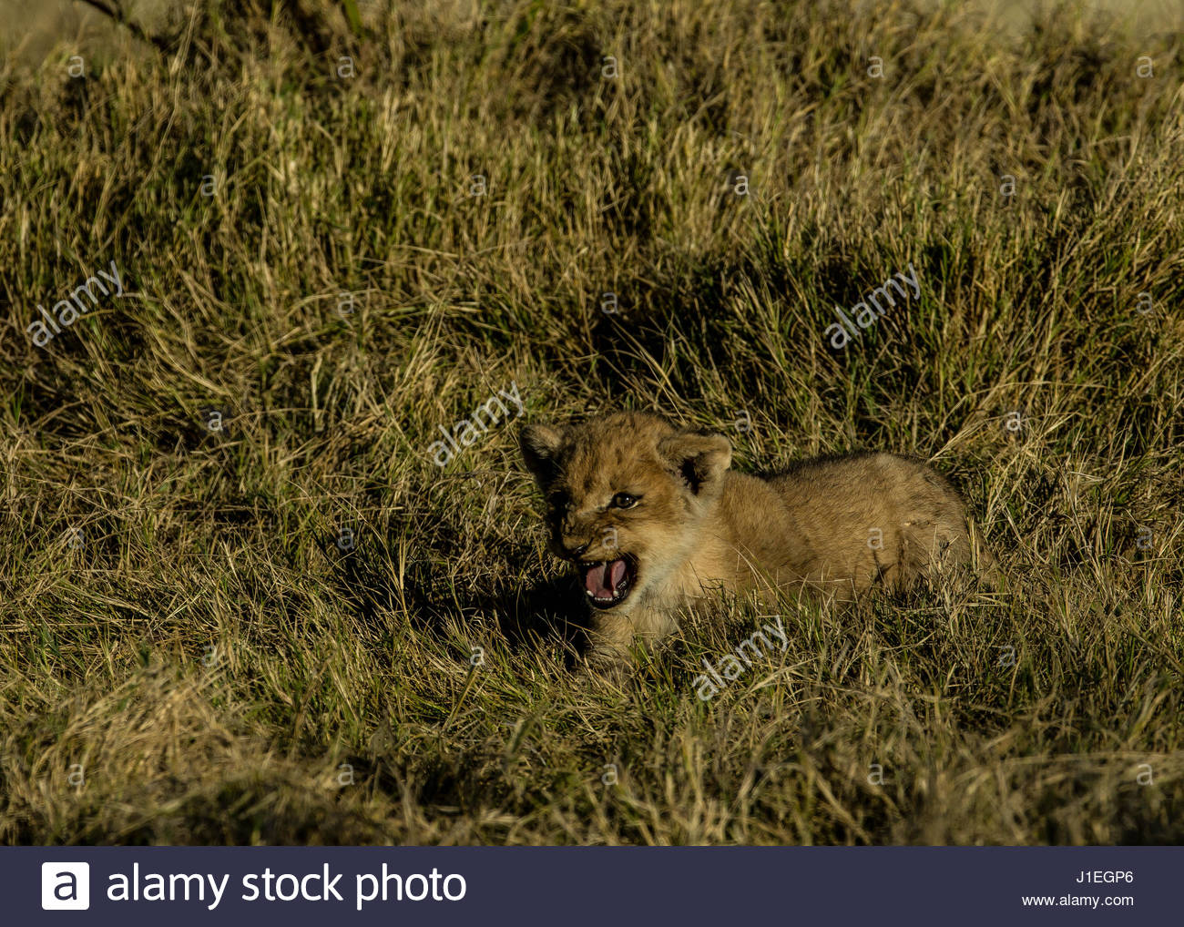 A lion Cub, Panthera leo, resting in the grass in Botswana's Okavango Delta. - Stock Image