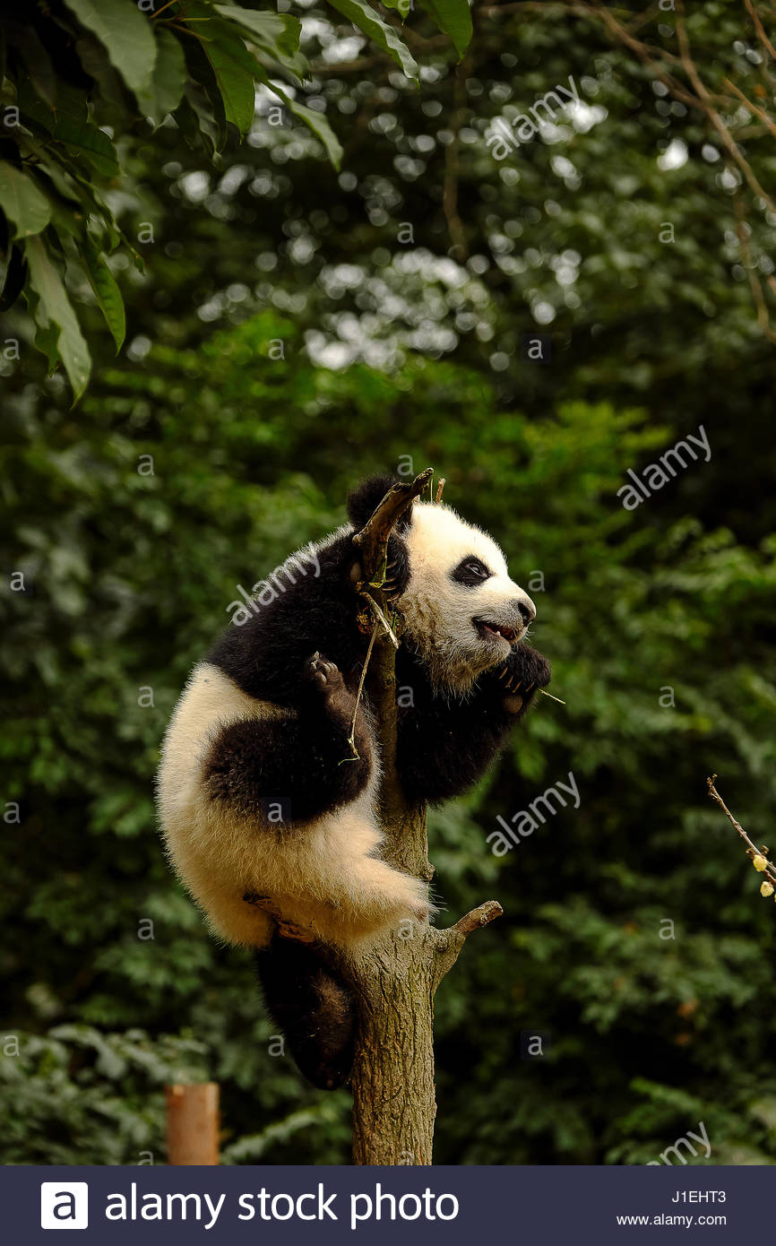 Panda in captivity at the Chengdu Panda Breeding Center. - Stock Image