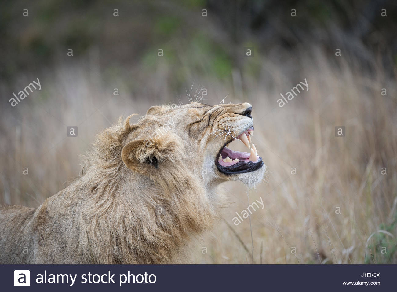 Profile of a young male lion, Panthera leo, baring his teeth. - Stock Image