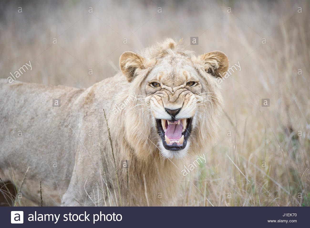 Young male Lion, Panthera leo, baring his teeth. - Stock Image