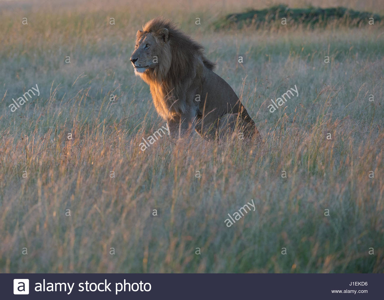Sunlight on a male lion, Panthera leo, sitting in the dry grass. - Stock Image