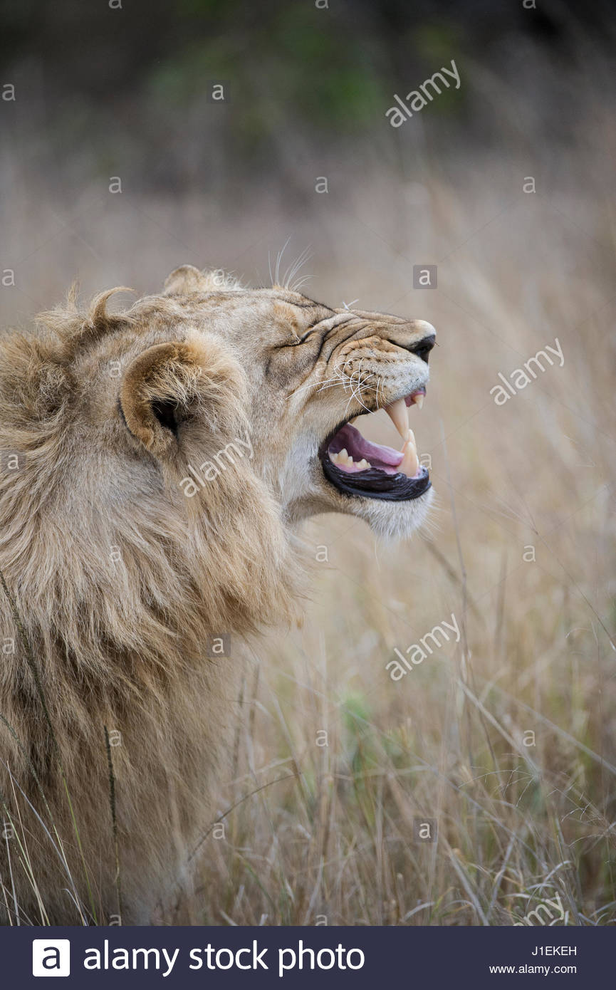 Profile of male lion, Panthera leo, baring his teeth. - Stock Image