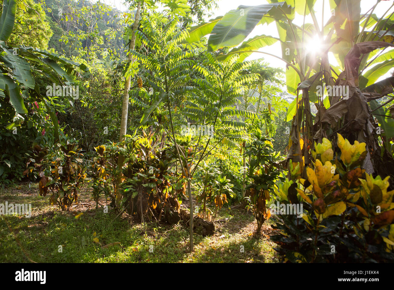 The sun bursts through vegetation located in the tropical botanical gardens at Casa Orquideas. - Stock Image