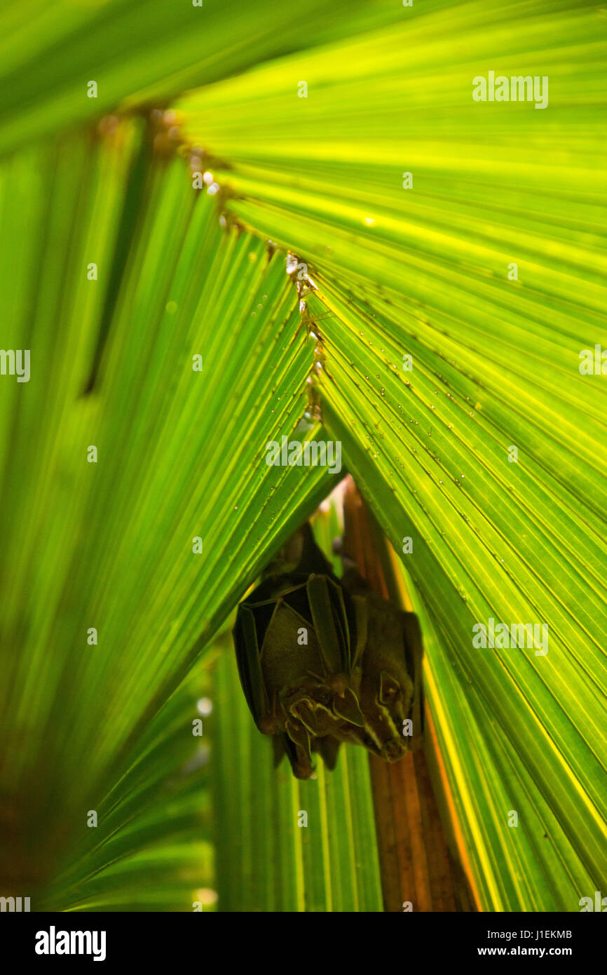 Common tent making bats rest under the cover of palm leaves in the tropical botanical gardens of Casa Orquideas. Stock Photo