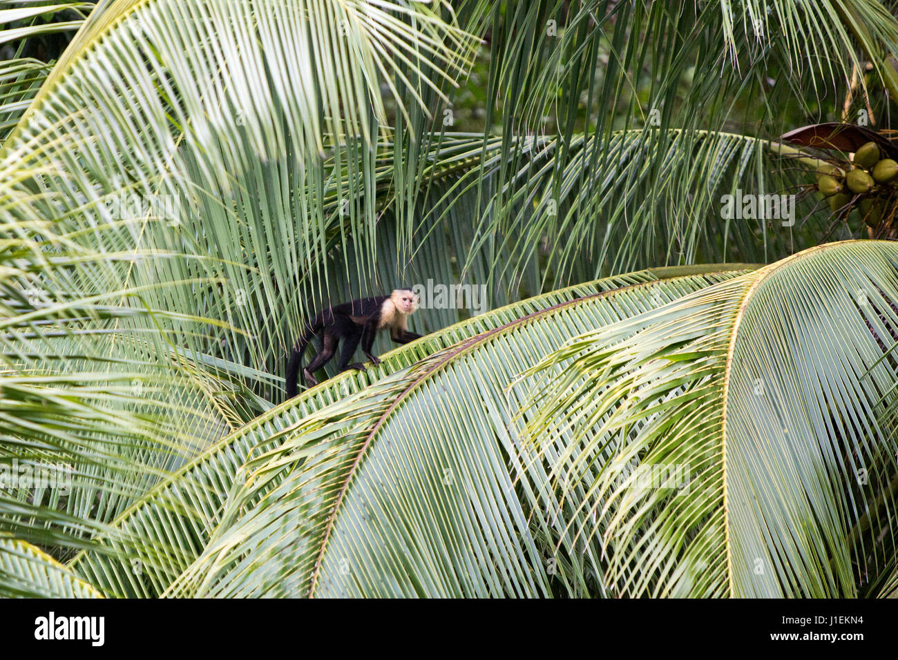 A white-faced capuchin monkey walks along the spine of a palm frond. - Stock Image
