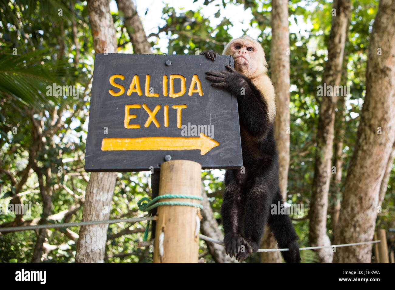 A white-faced capuchin monkey climbs on an exit sign in Manuel Antonio National Park. - Stock Image