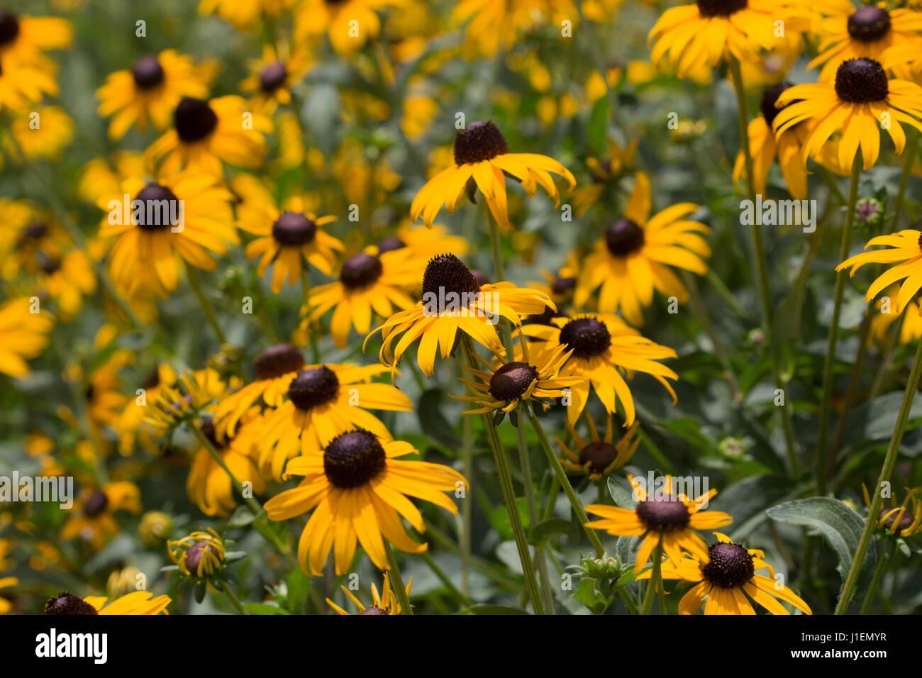Yellow Coneflower Field Stock Photos Yellow Coneflower Field Stock