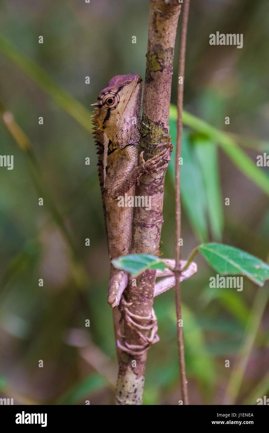 Wild lizard looking like a dragon - Stock Image