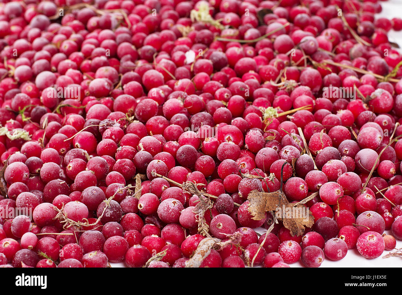it is a lot of scattered frozen cowberry berries - Stock Image
