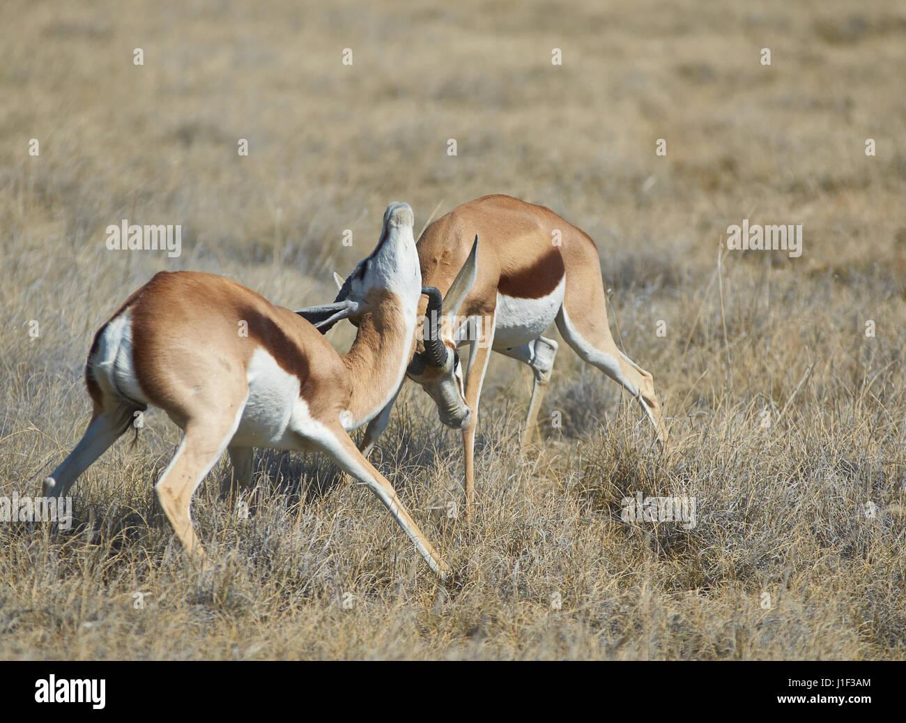 Male springok (Antidorcas marsupialis) fighting in Etosha National Park, Namibia - Stock Image
