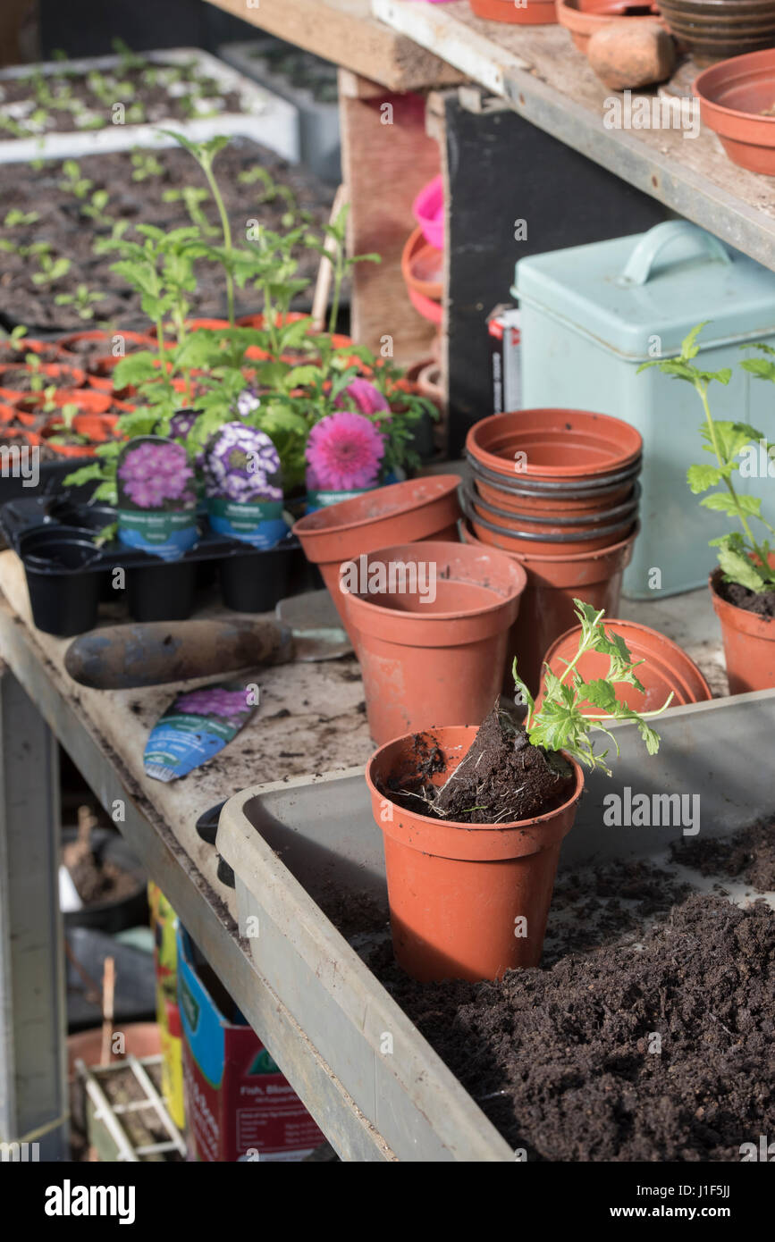 Potting up bought Verbena plants in a greenhouse. UK - Stock Image