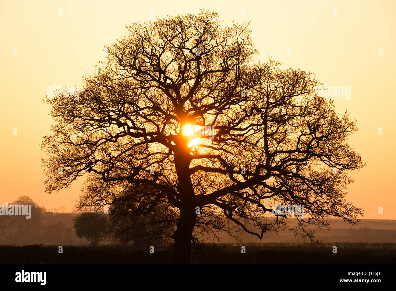 Quercus robur. Oak tree at sunrise in the english countryside. Silhouette. Oxfordshire. UK - Stock Image