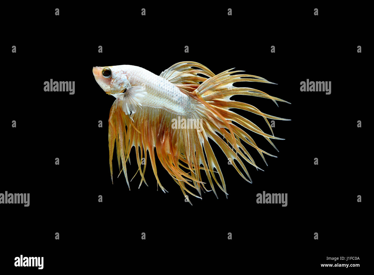 Male crown tail Betta splendens or siamese fighting fish isolated on black background, Plakat Thailand - Stock Image