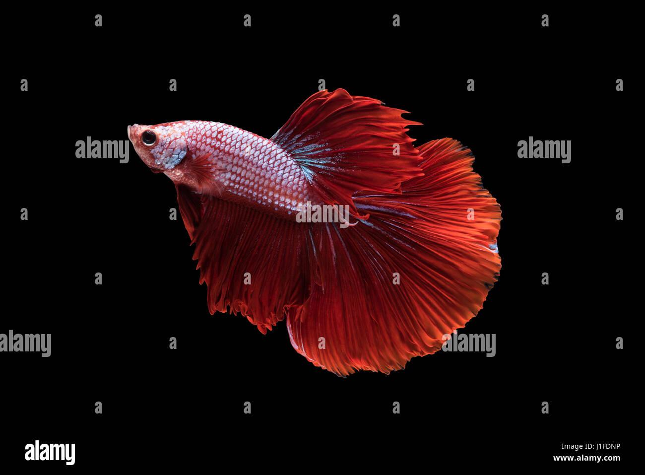 red halfmoon betta splendens or siamese fighting fish isolated on