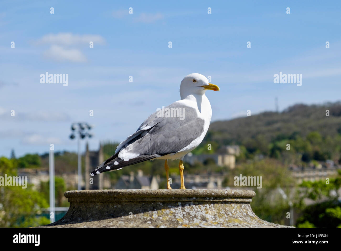 A large Seagull / Gull is pictured as it sits on a wall near Pulteney Bridge,Bath,England, UK - Stock Image