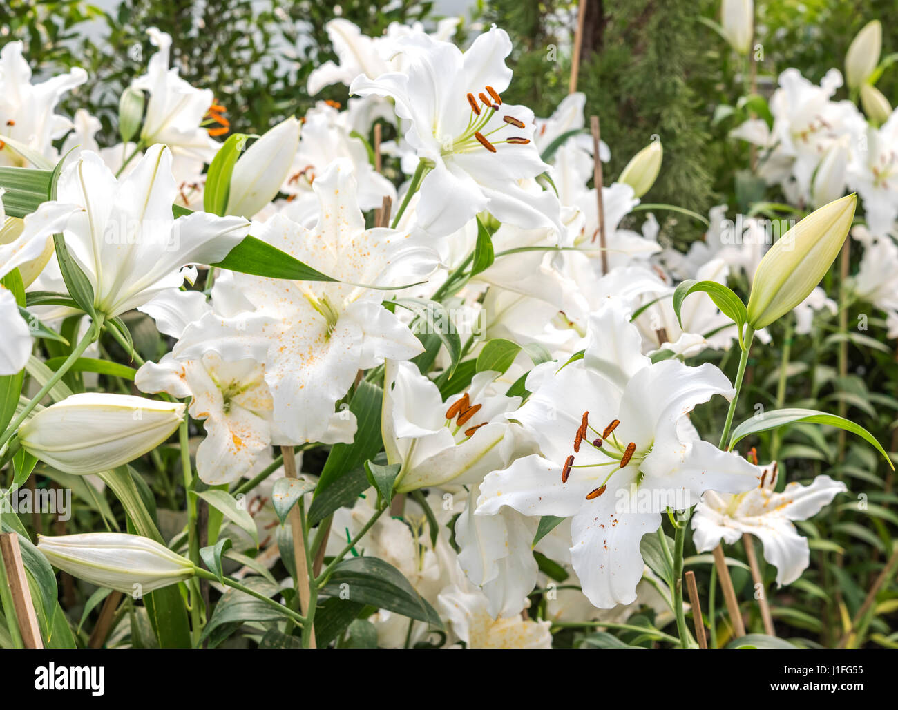 Beautiful white lily in garden field lilium flower section stock beautiful white lily in garden field lilium flower section archelirion izmirmasajfo