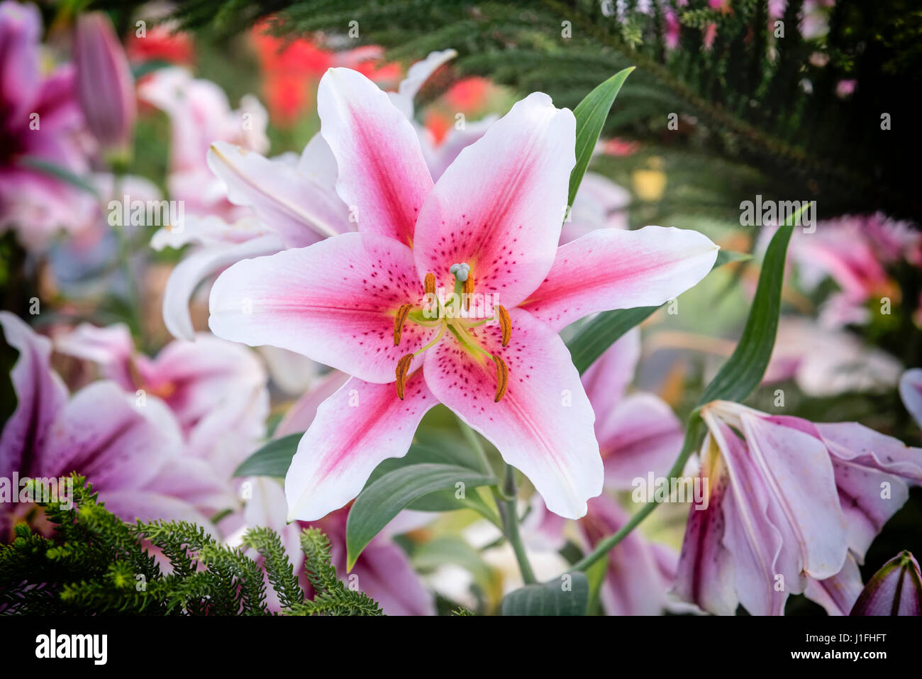Beautiful pink lily in garden zephyranthes flower common names for beautiful pink lily in garden zephyranthes flower common names for species in this genus include fairy lily rainflower zephyr lily magic lily at izmirmasajfo