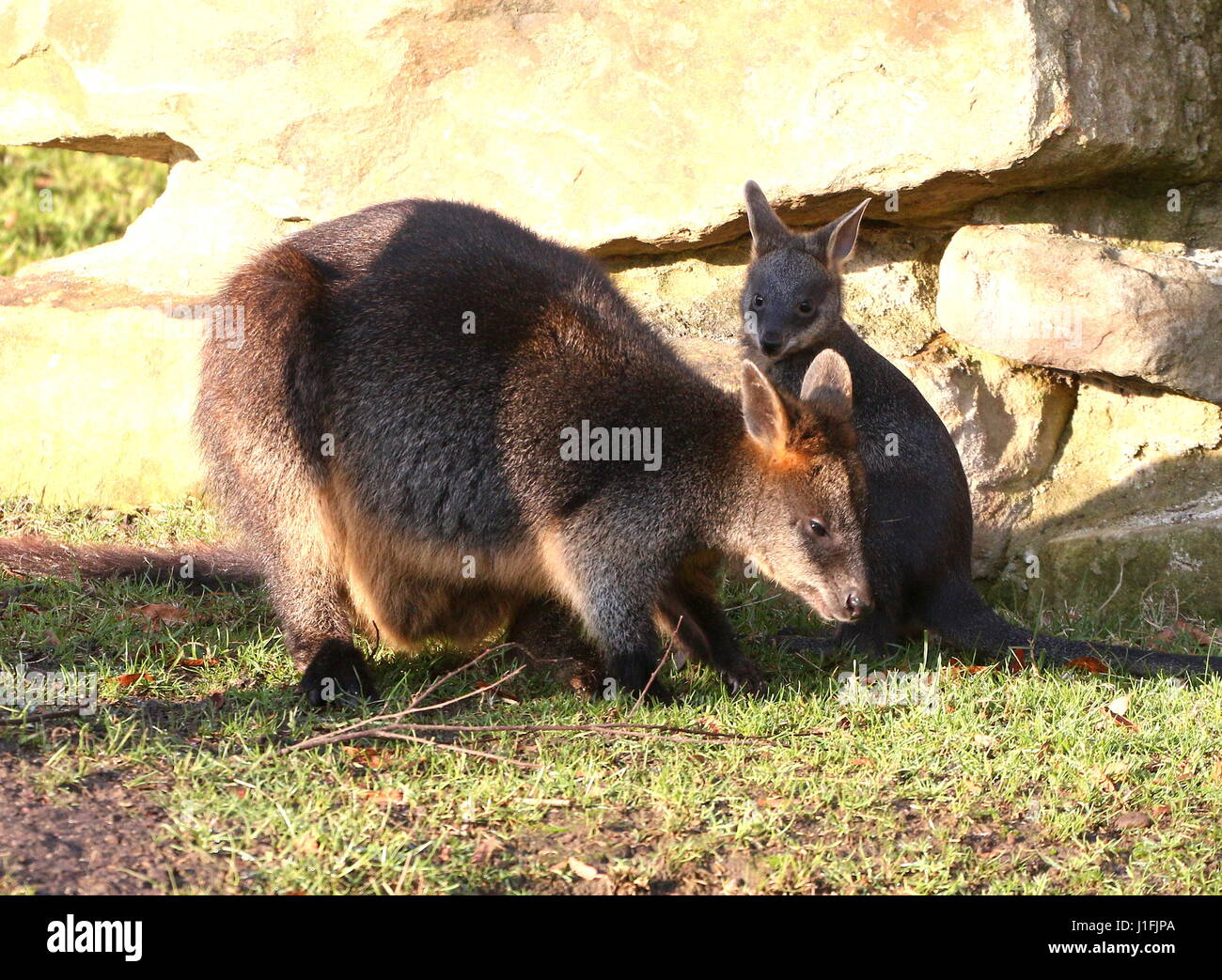 Baby Swamp Wallaby joey (Wallabia bicolor) feeding with his mother. A.k.a. Black Pademelon or East Australian Black-tailed Wallaby Stock Photo