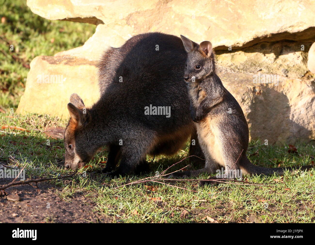 Baby Swamp Wallaby joey (Wallabia bicolor) feeding with his mother. A.k.a. Black Pademelon or East Australian Black Stock Photo