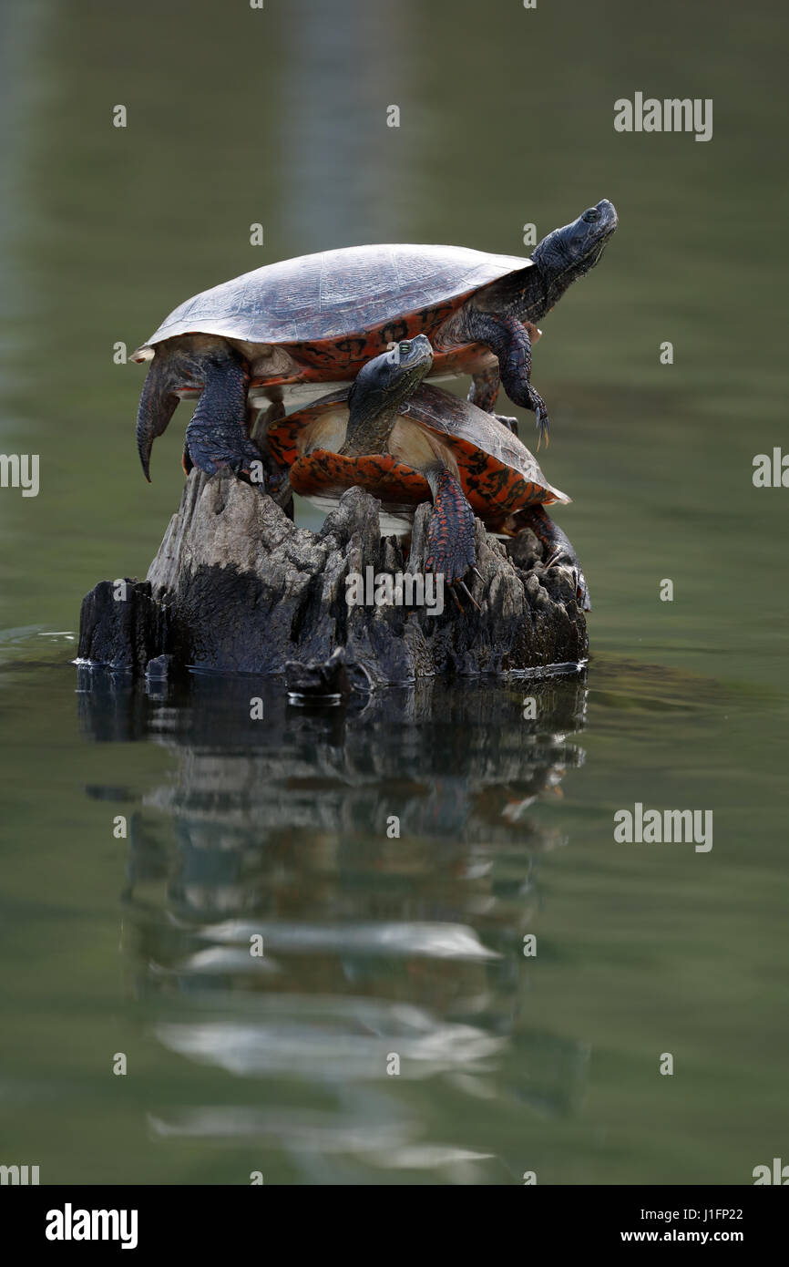 Northern red-bellied cooter. Pseudemys rubriventris, Basking. Maryland - Stock Image