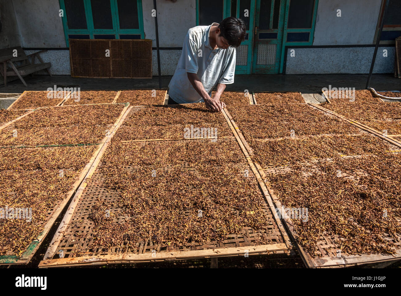 Man drying tobacco leaves in the sun in rural Java, Indonesia. © Reynold Sumayku Stock Photo