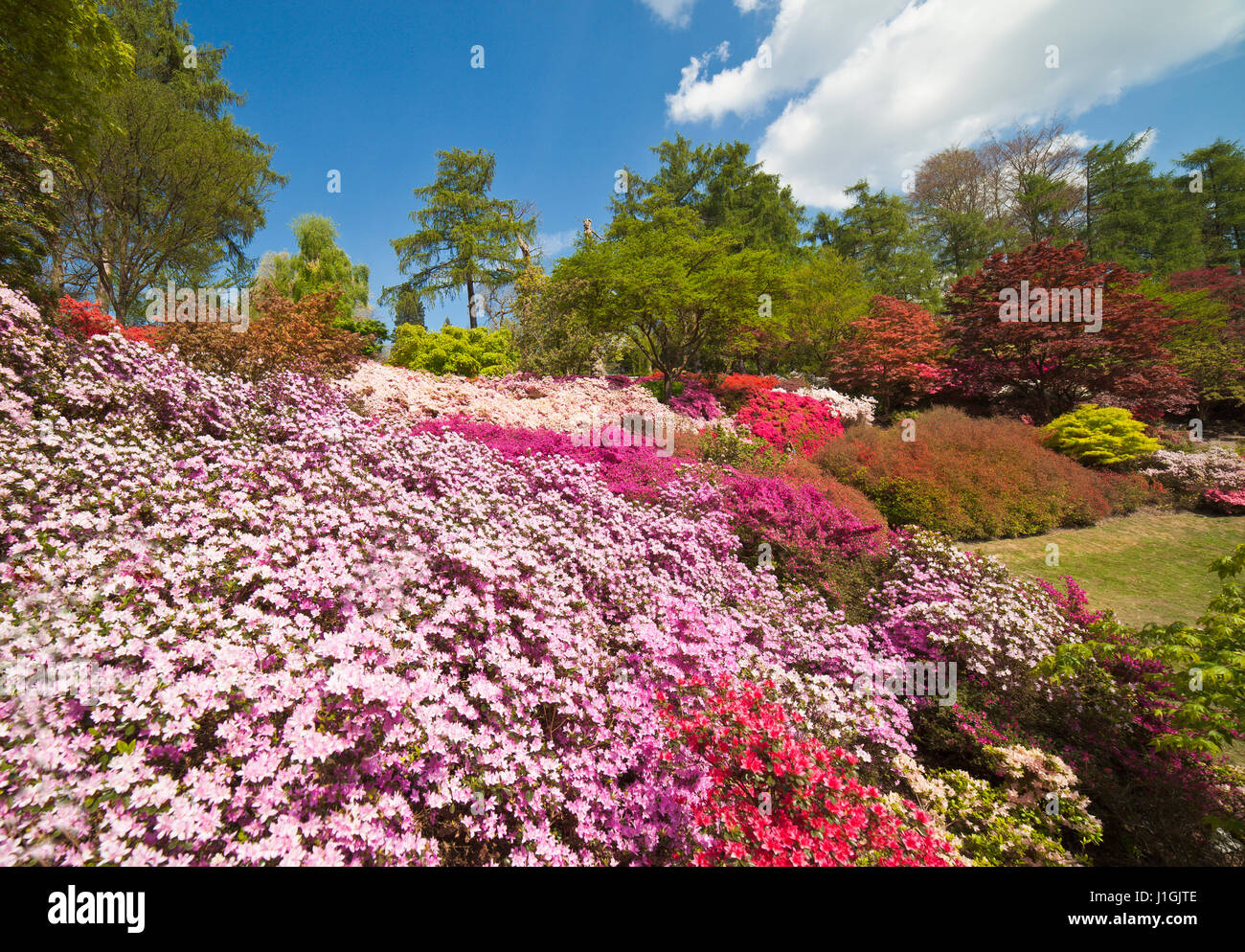 The Punch Bowl Azaleas at Virginia Water. - Stock Image