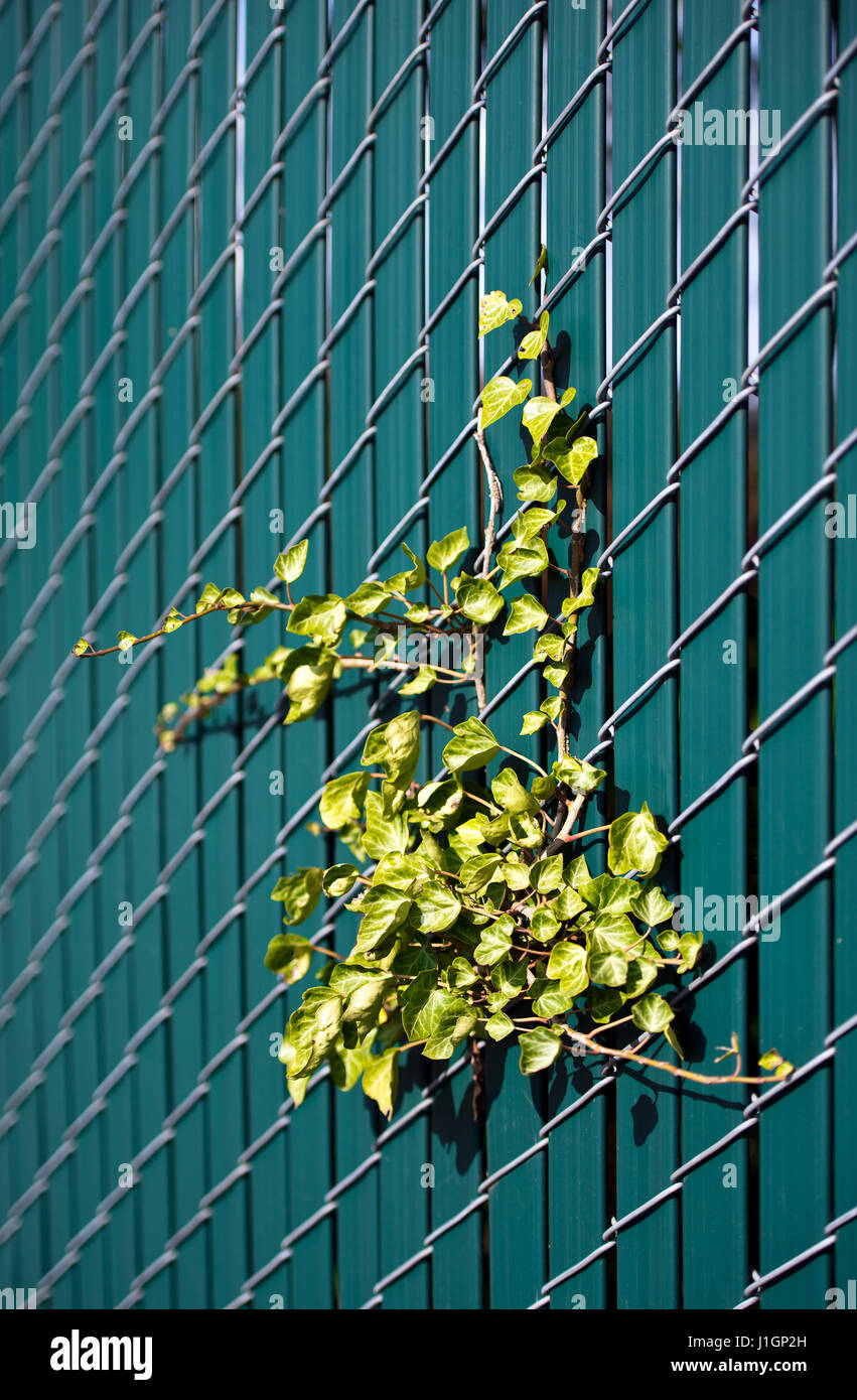 Live green ivy located on the wire grid fence with inserted inside plastic green picket fence - Stock Image