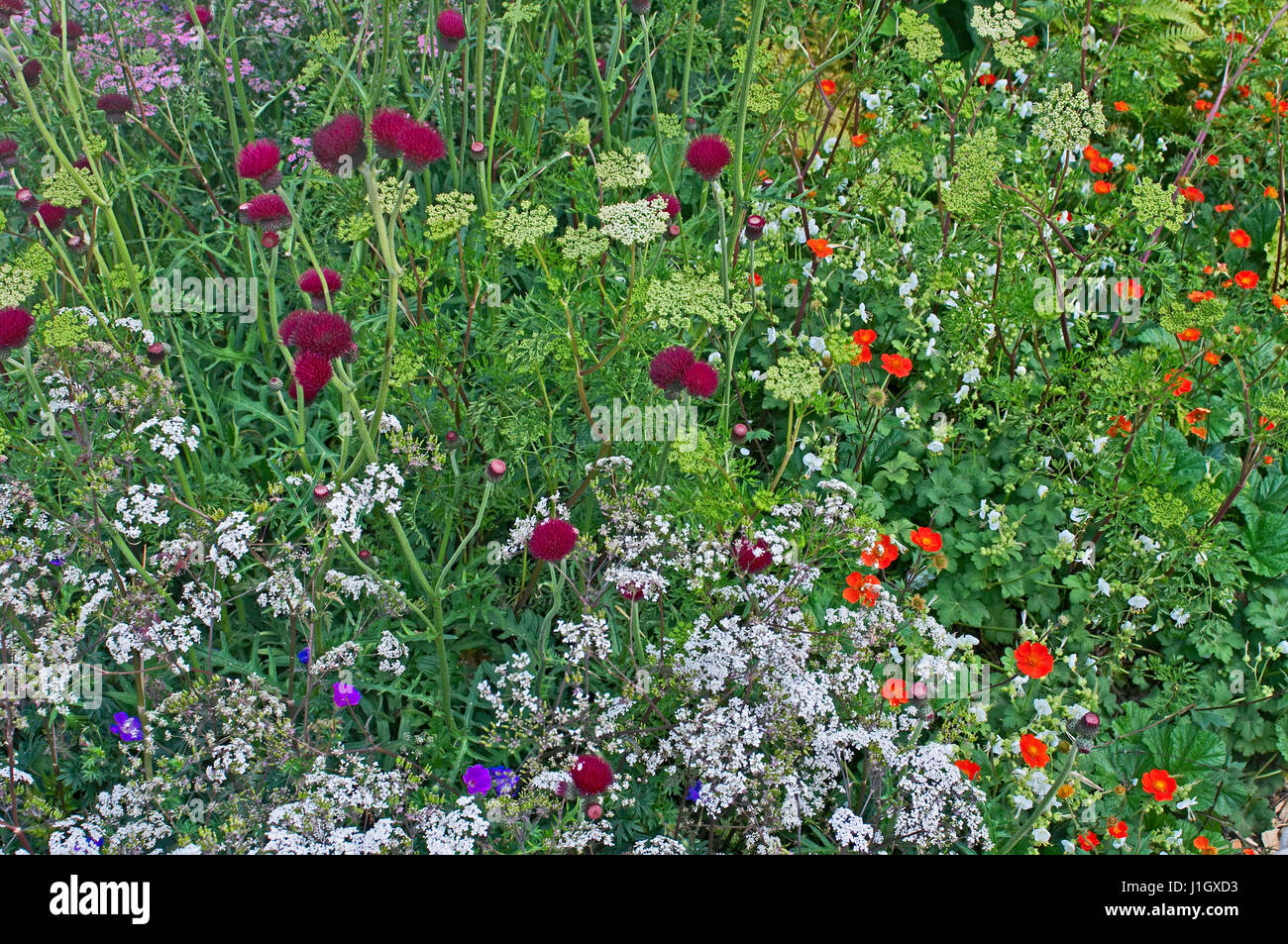 Close up of a flower border with flowering Cirsium rivulare Altopurpureum - Stock Image