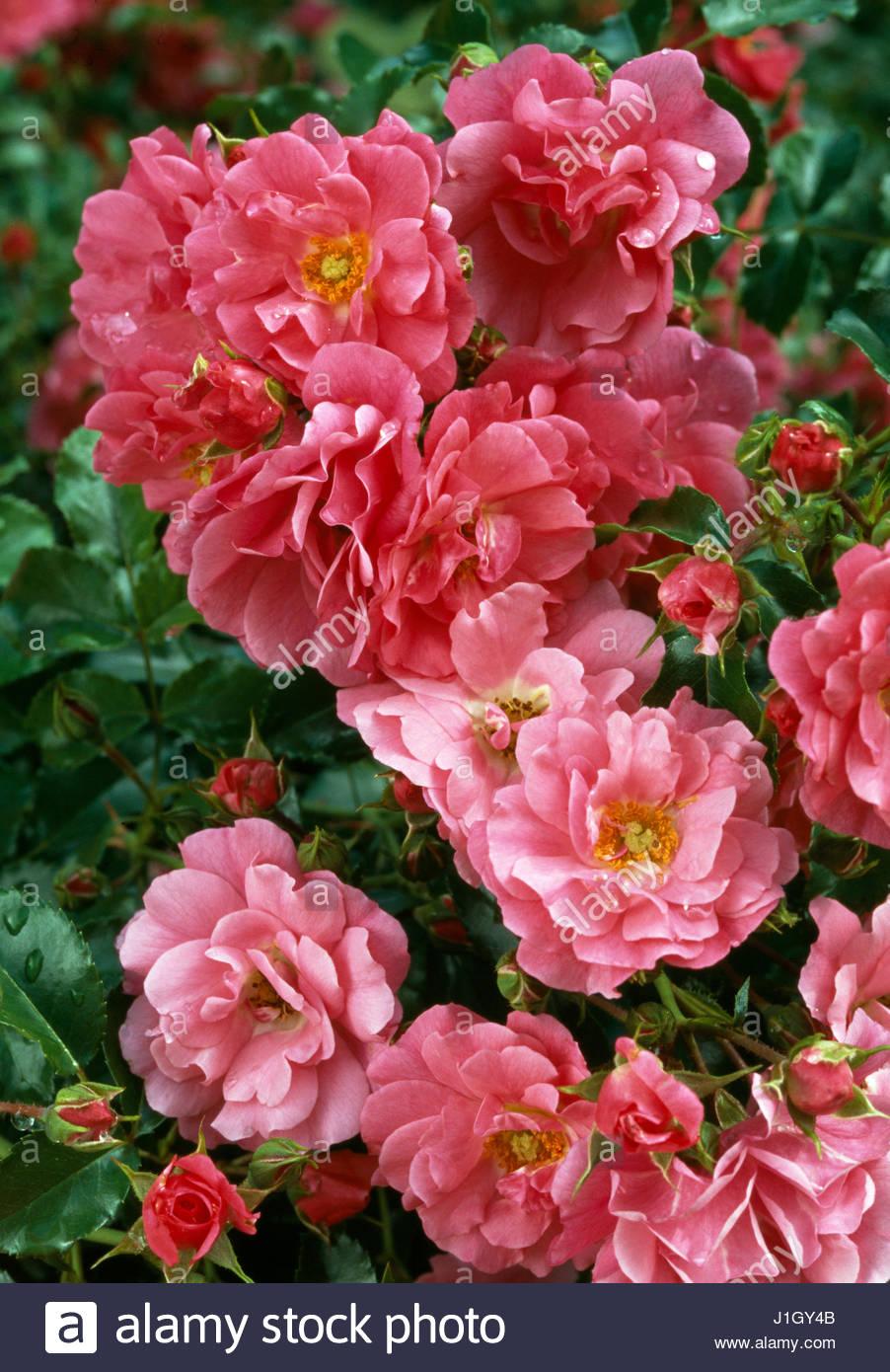 Rosa flower carpet pink stock photo 138670123 alamy rosa flower carpet pink mightylinksfo
