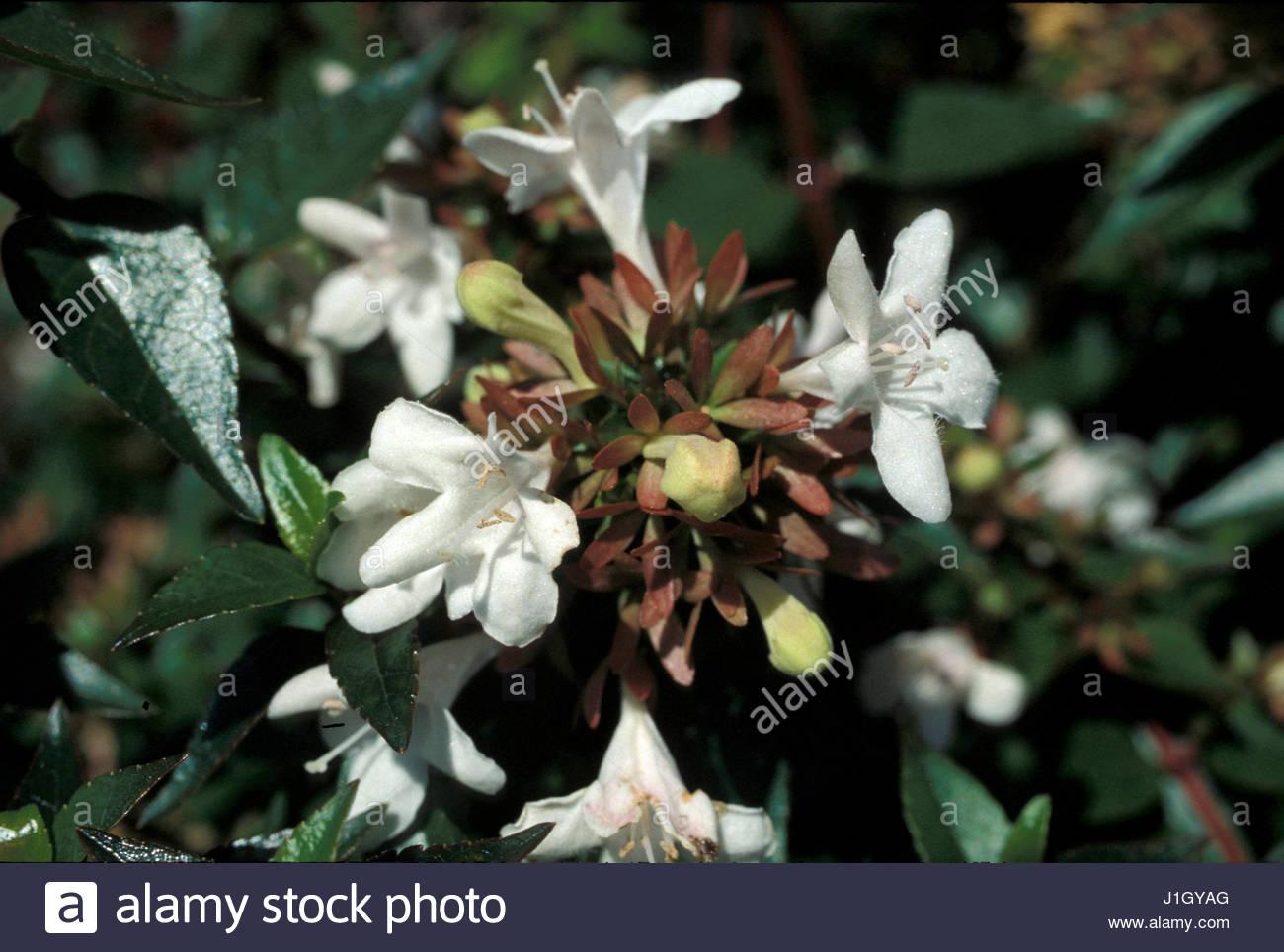 Abelia grandiflora evergreen shrub close up white flowers stock abelia grandiflora evergreen shrub close up white flowers summer autumn mightylinksfo