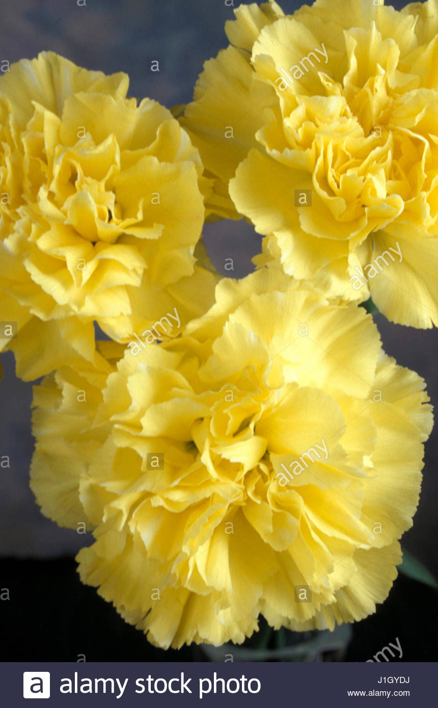 Close up yellow carnation flower dianthus stock photos close up dianthus caryophyllus yellow carnations stock image mightylinksfo