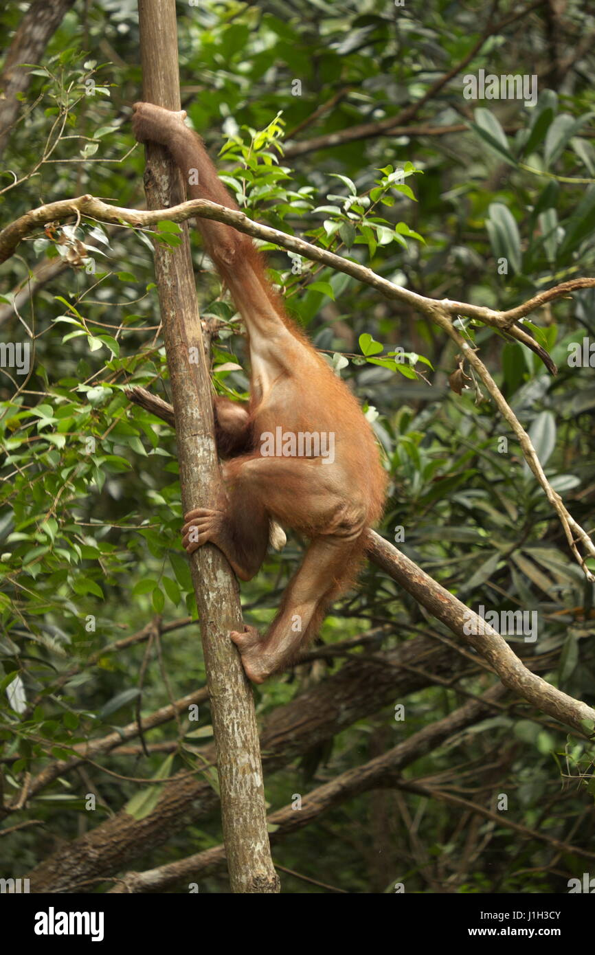 Orang utan has strong arms and legs. Stock Photo