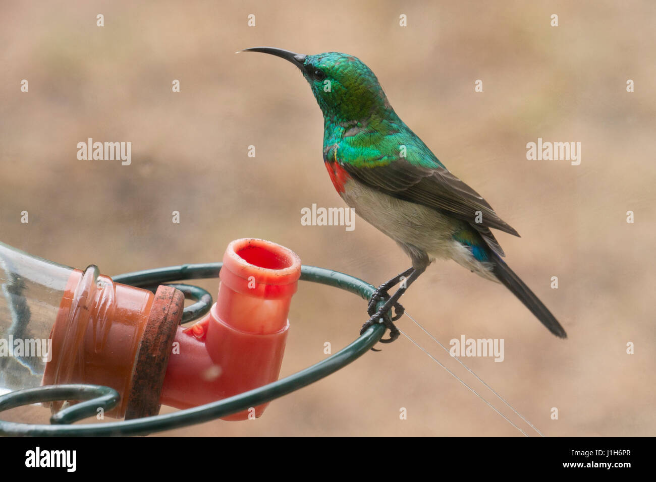 lesser double collared sunbird on sugar feeder , South Africa - Stock Image