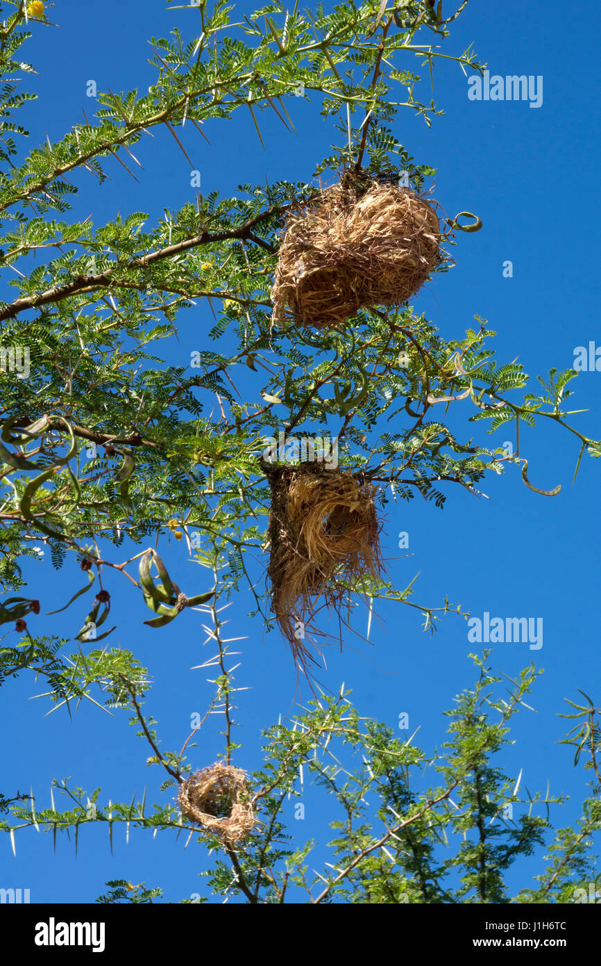 Weaver Bird Nest in Tree , South Africa - Stock Image