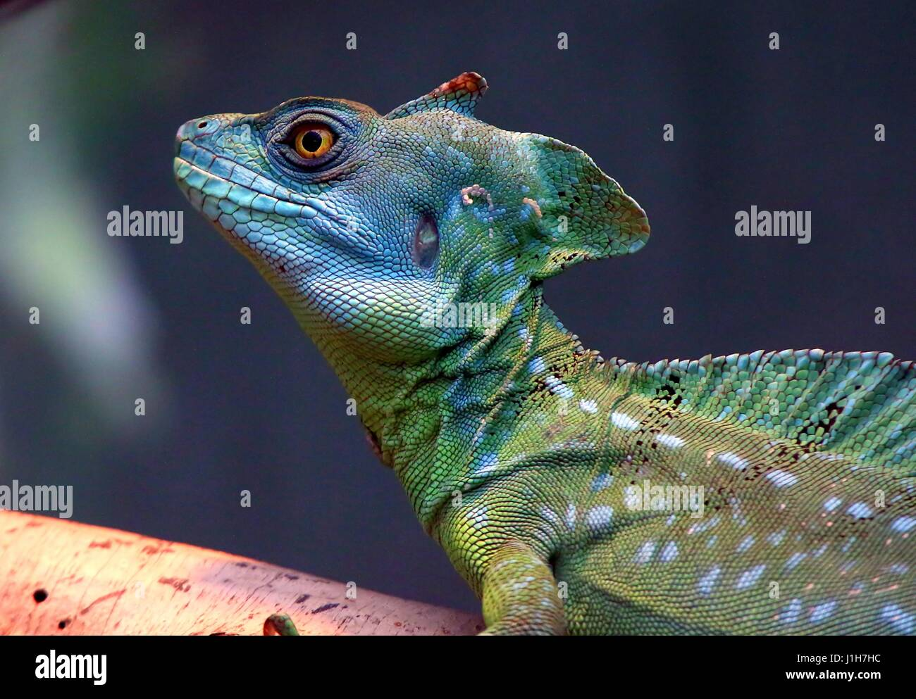 Male Central American Green or Plumed basilisk (Basiliscus plumifrons), a.k.a. double crested basilisk Stock Photo