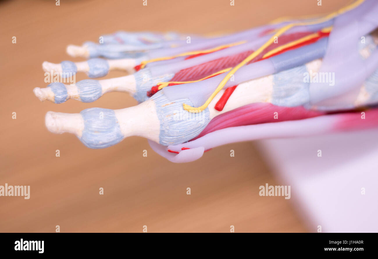 Foot medical study student anatomy model showing bones, toes Stock ...