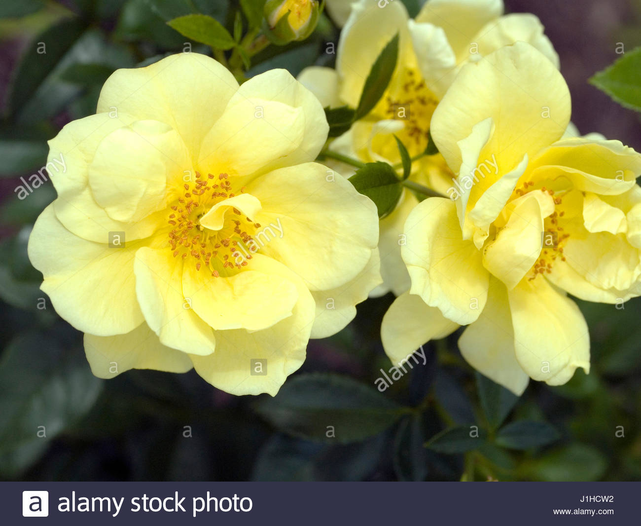 Rosa Flower Carpet Yellow Stock Photo 138680894 Alamy
