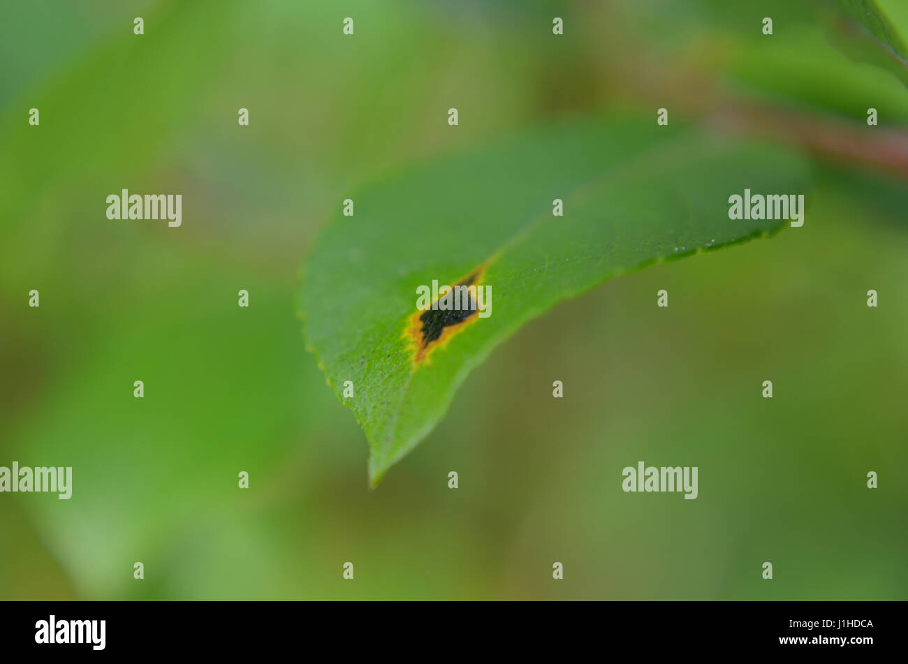 Birch leaf with flamelike mark in selective focus - Stock Image