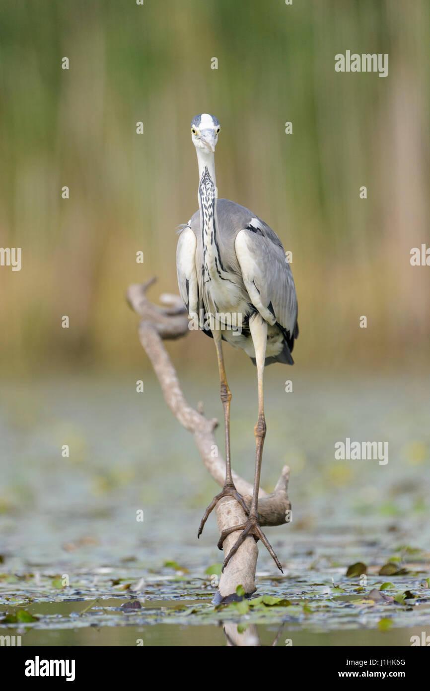 Grey Heron (Ardea herodias) hunting fish in water, Hortobagy national park, Hungary. - Stock Image
