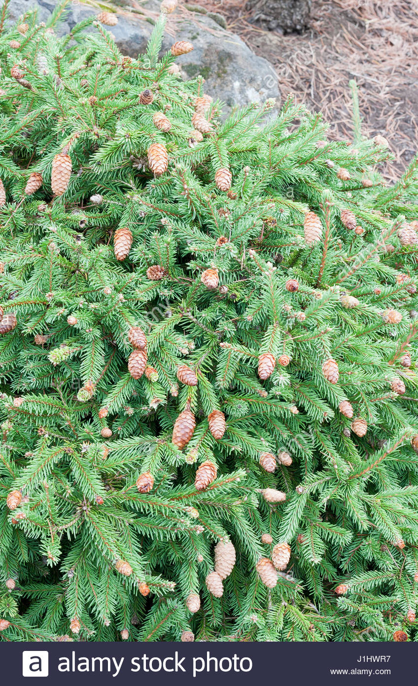 Picea Abies Pusch Stock Photo 138691035 Alamy