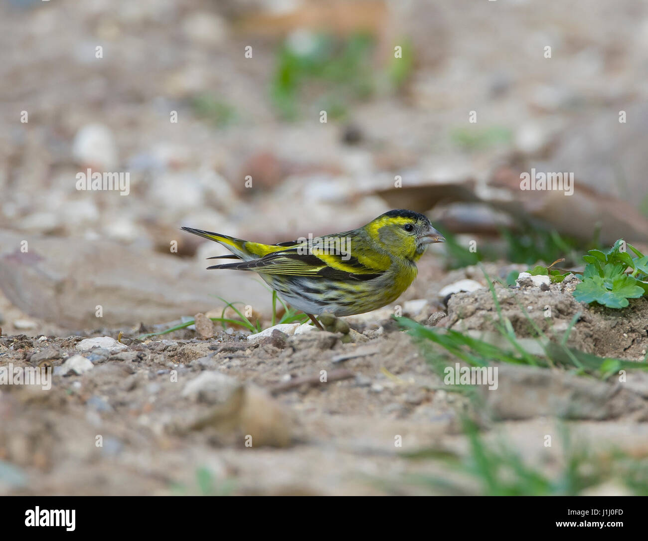 Male Siskin Carduelis spines in winter plumage feeding on ground - Stock Image