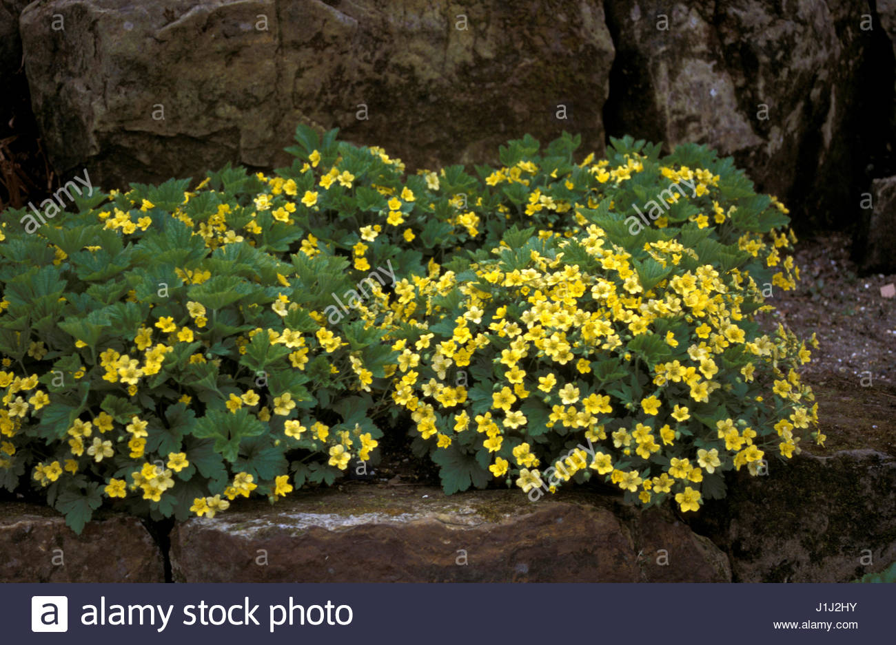 Waldsteinia Geoides Evergreen Perennial Ground Cover Yellow Flowers