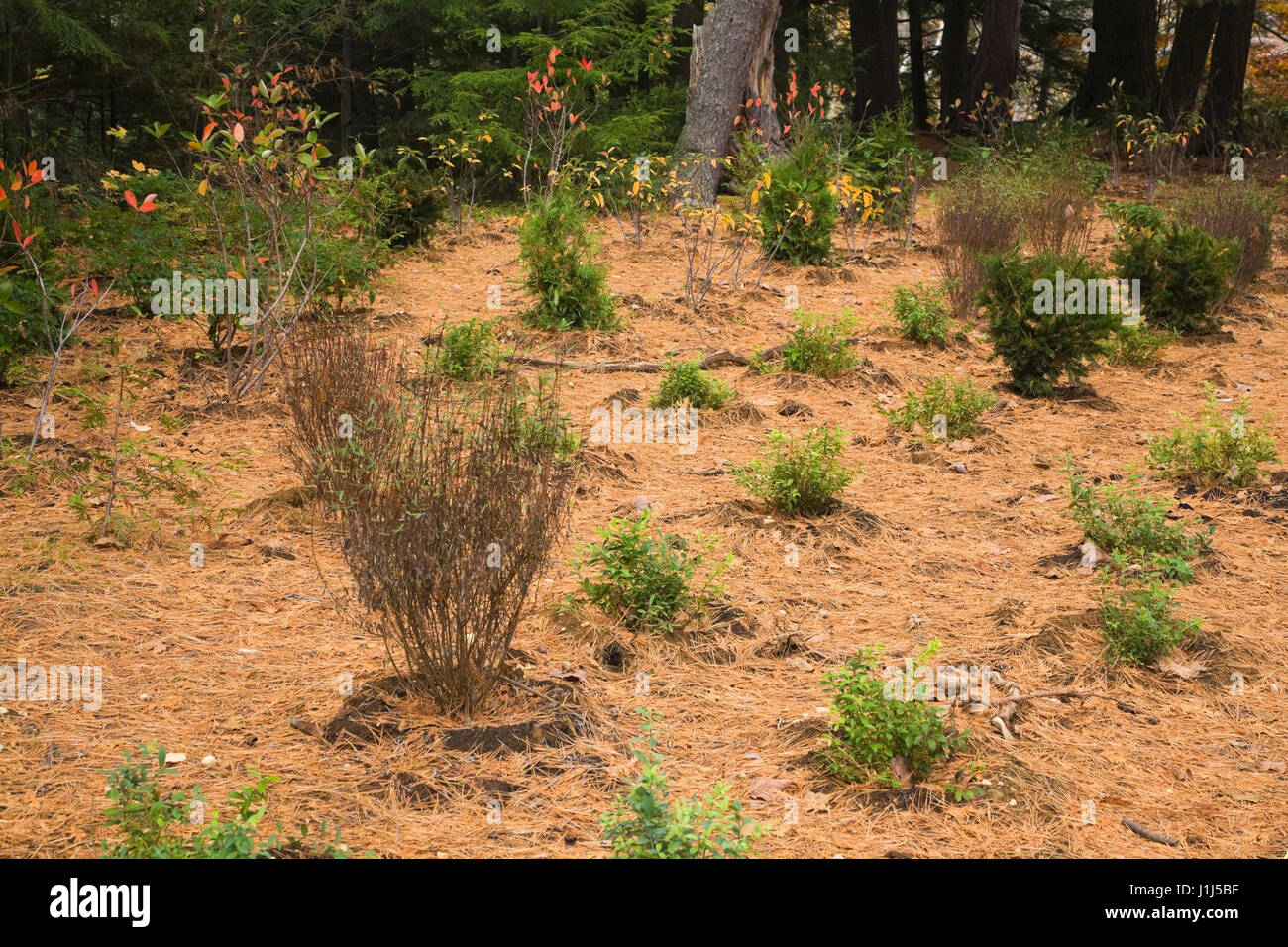 Perennial shrub plantings and evergreen cedar Thuja, yew Taxus baccata trees in a public park. - Stock Image