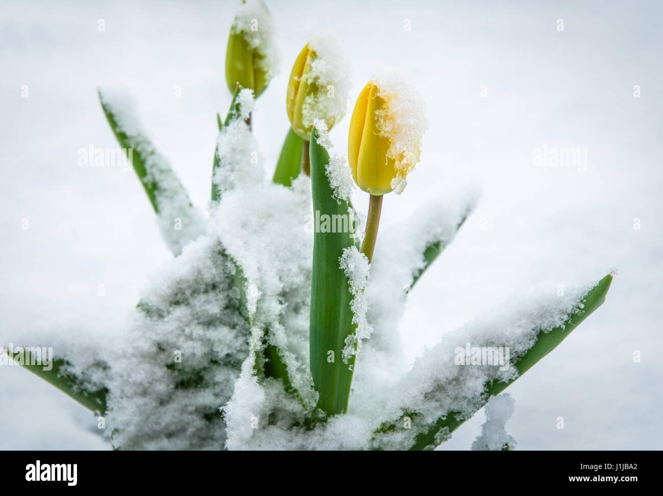 Natural weather anomaly snow covered tulip flowers