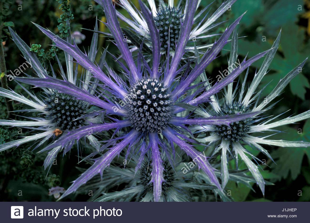 Thistle Like Flower Stock Photos Thistle Like Flower Stock Images
