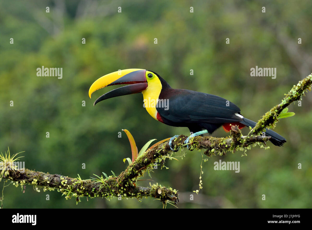 Chestnut-mandibled Toucan in Costa Rica rain forest - Stock Image