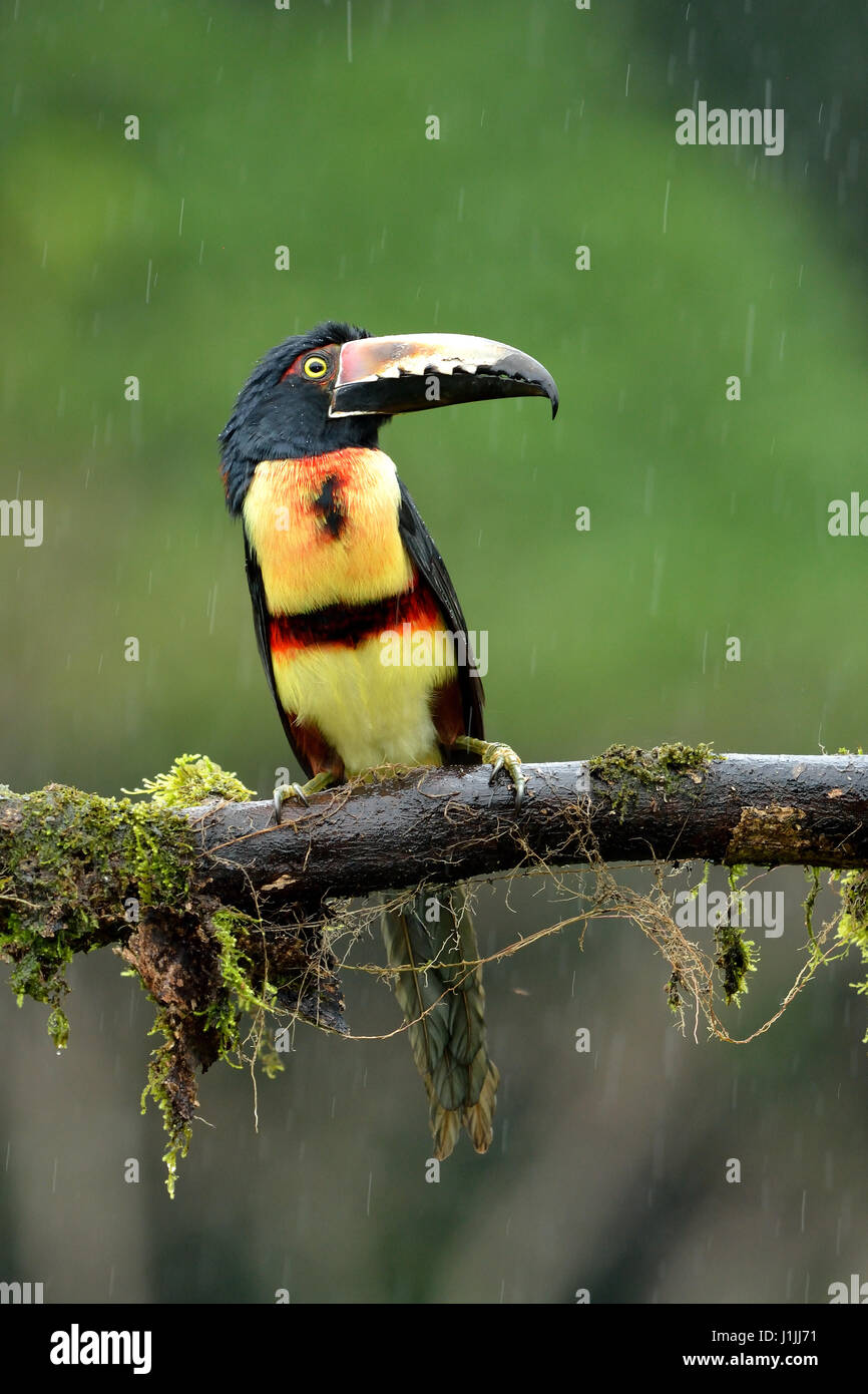 Collared Aracari in the Tropical rain forest - Stock Image